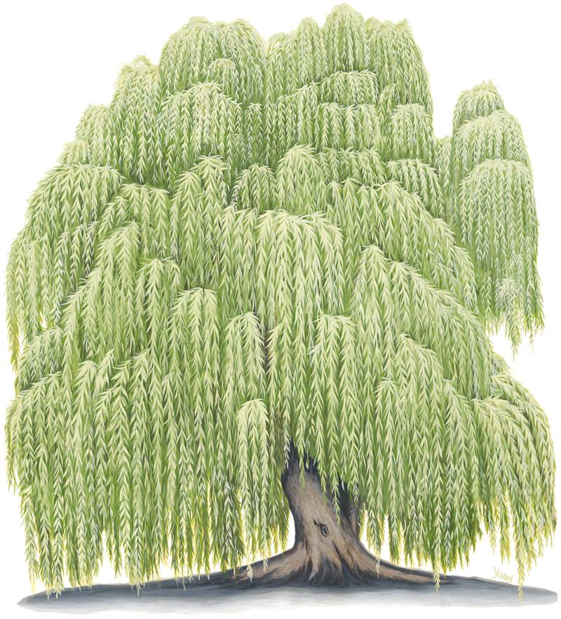 Old Willow Tree Drawing i Grew up in a Willow Tree