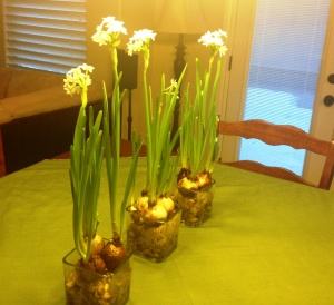 paper whites with snow